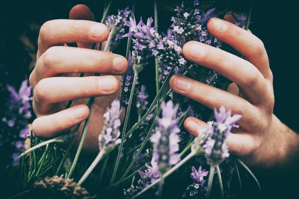 A woman's hands touching a bunch of living purple flowers.